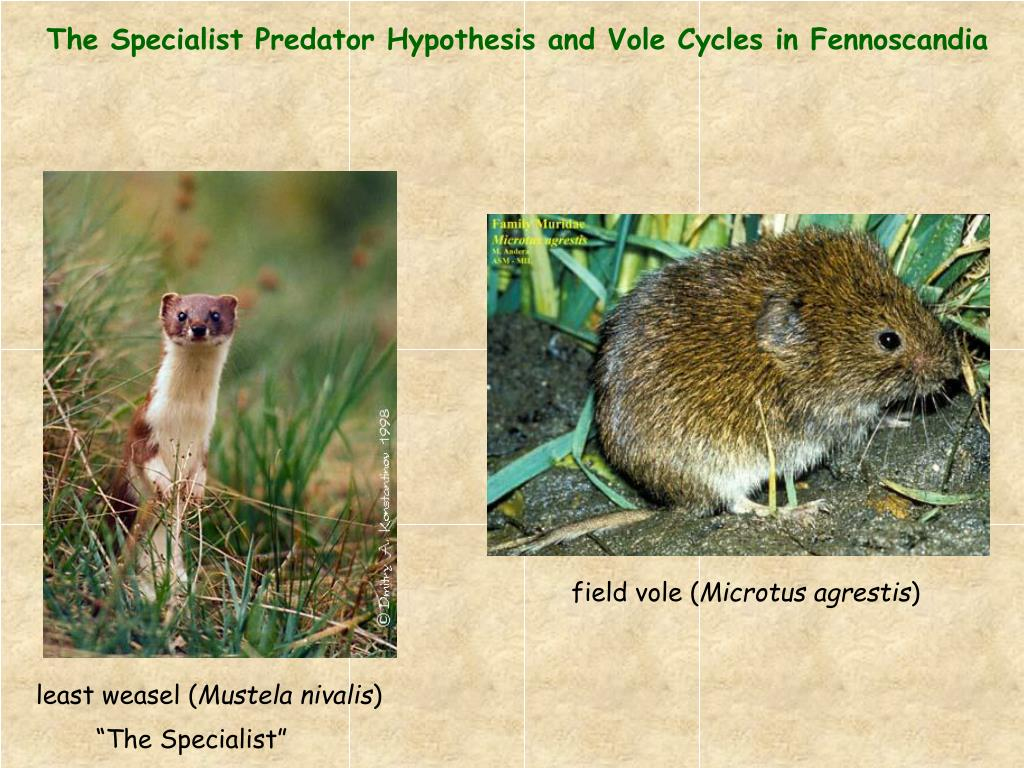 The Specialist Predator Hypothesis and Vole Cycles in Fennoscandia