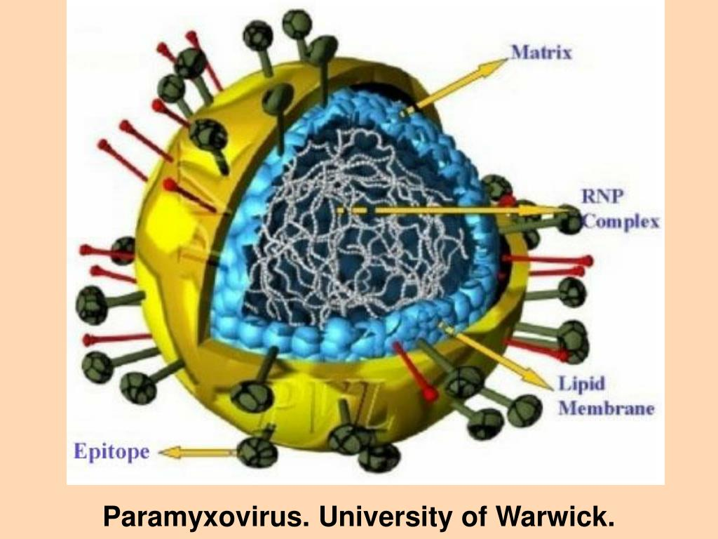 Paramyxovirus. University of Warwick.