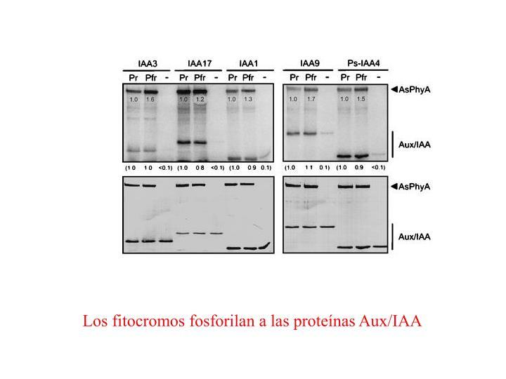 Los fitocromos fosforilan a las proteínas Aux/IAA