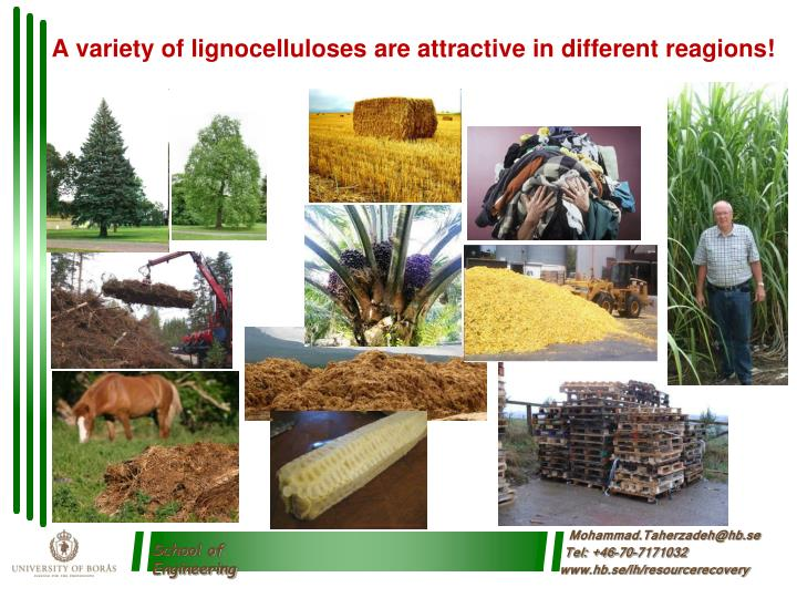 A variety of lignocelluloses are attractive in different reagions