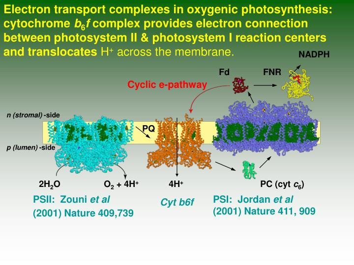 Electron transport complexes in oxygenic photosynthesis: