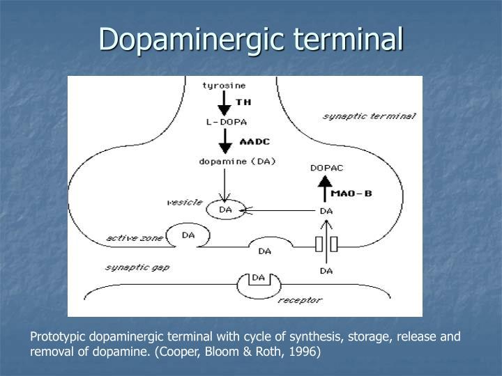 Dopaminergic terminal