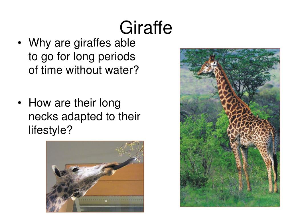 Why are giraffes able to go for long periods of time without water?