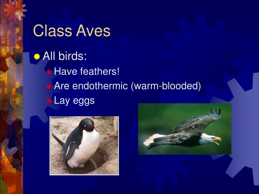 Class Aves