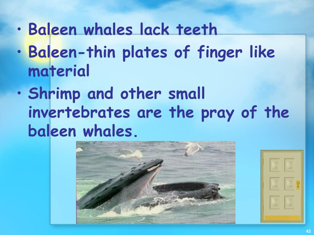 Baleen whales lack teeth