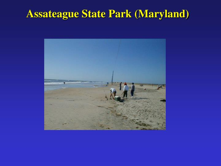 Assateague State Park (Maryland)