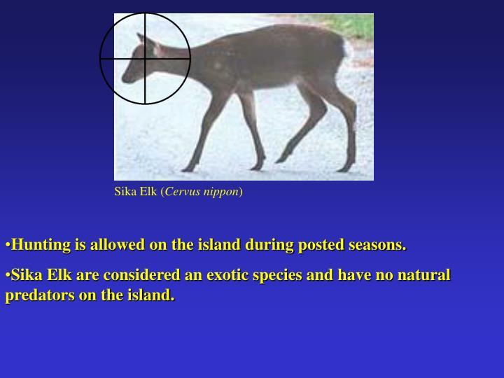 Sika Elk (