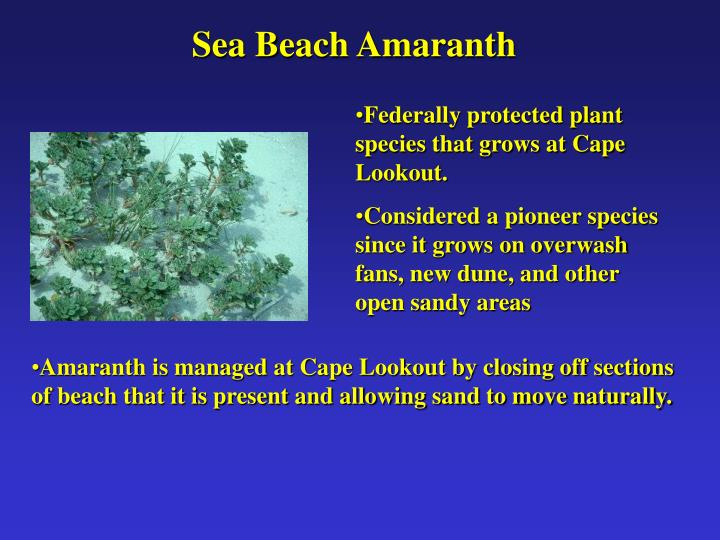 Sea Beach Amaranth