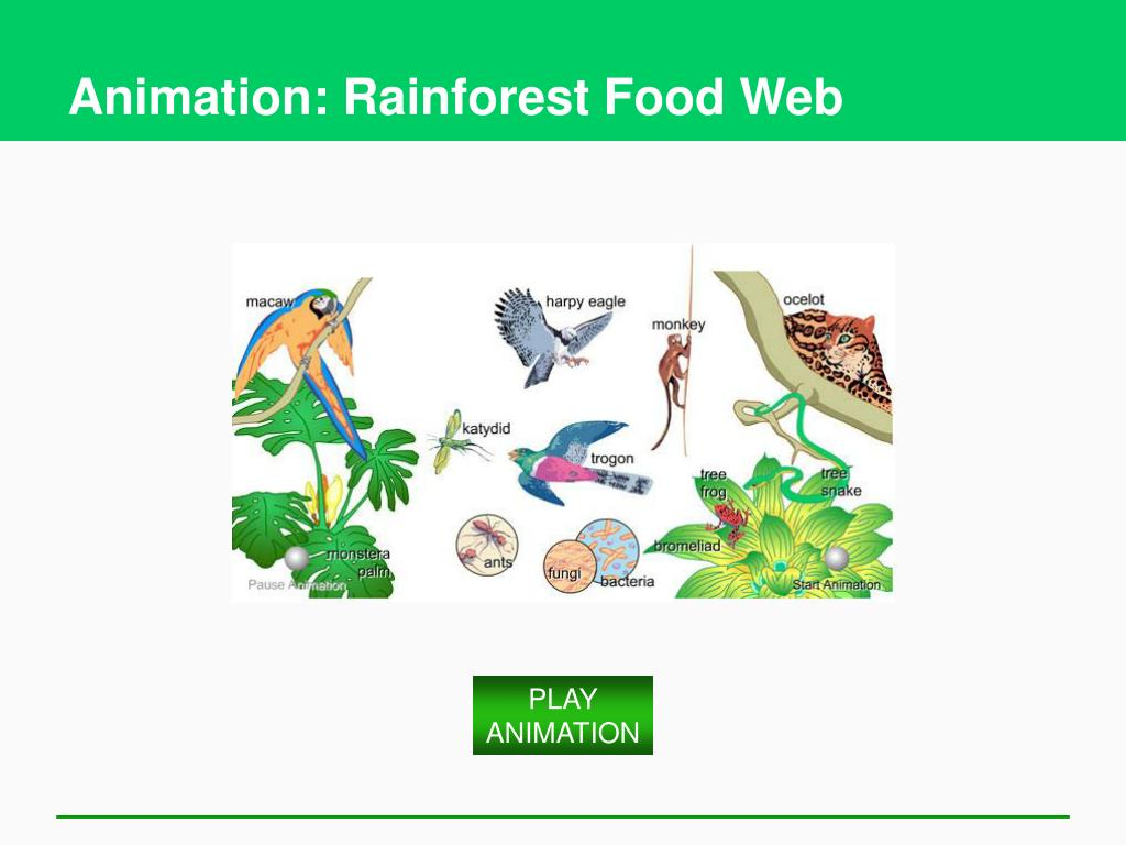 Animation: Rainforest Food Web