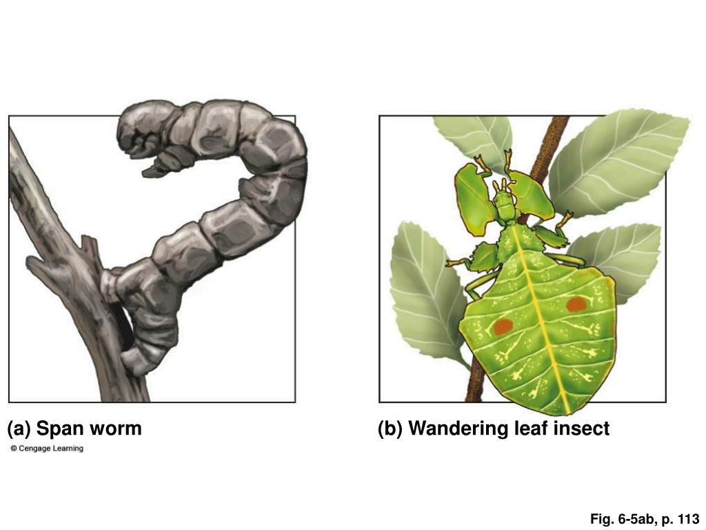 (a) Span worm