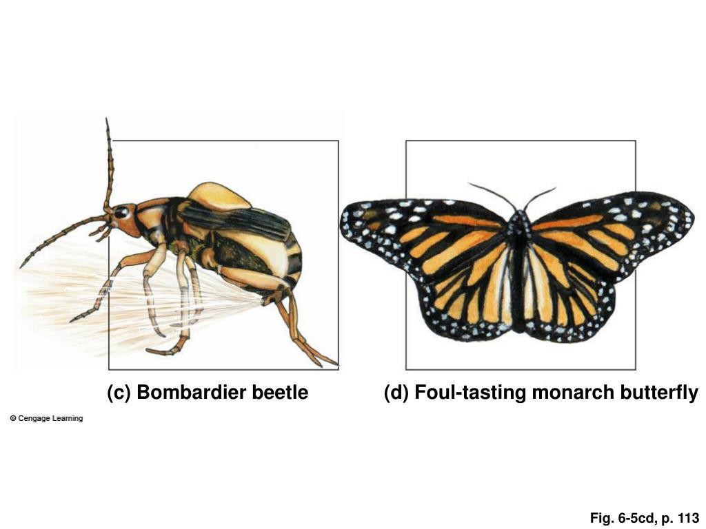 (c) Bombardier beetle