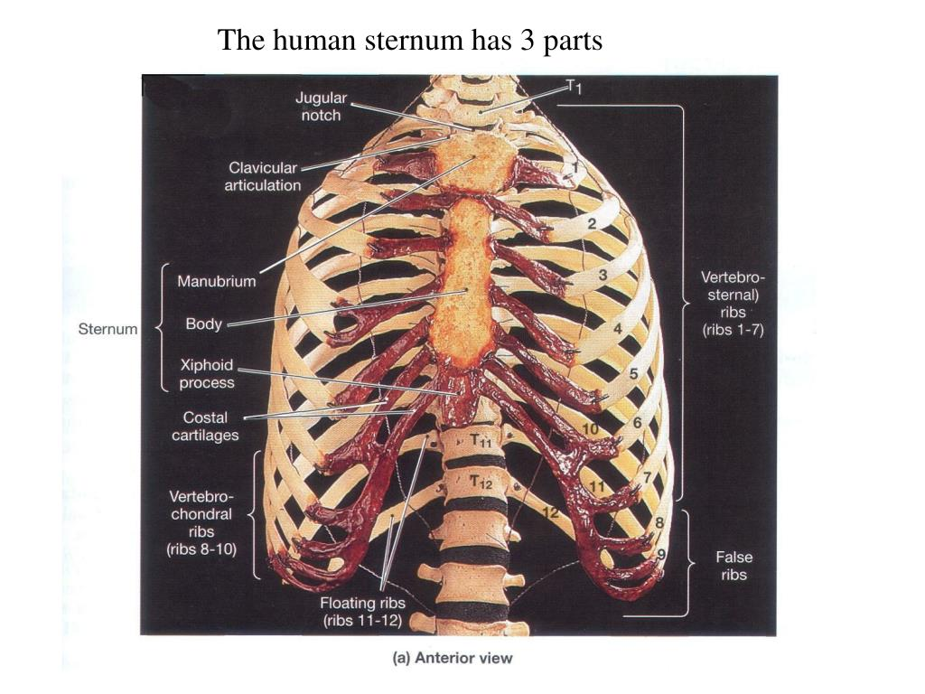 The human sternum has 3 parts