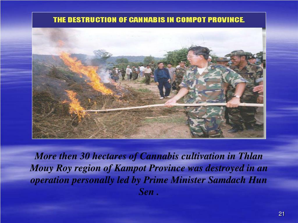 More then 30 hectares of Cannabis cultivation in Thlan Mouy Roy region of Kampot Province was destroyed in an operation personally led by Prime Minister Samdach Hun Sen .