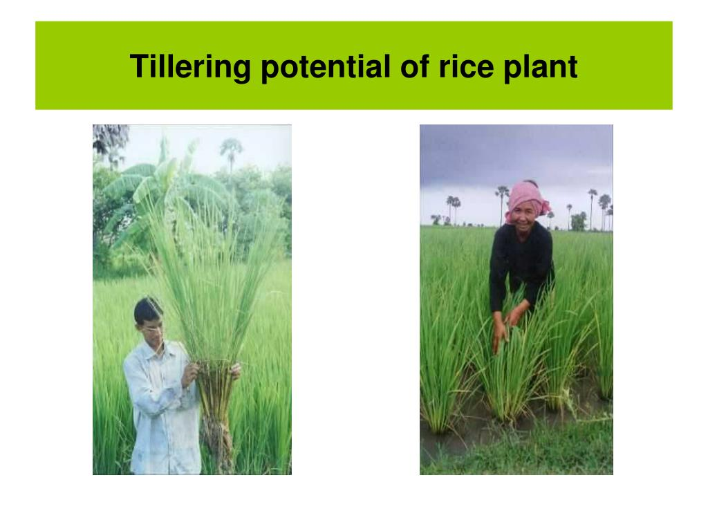 Tillering potential of rice plant