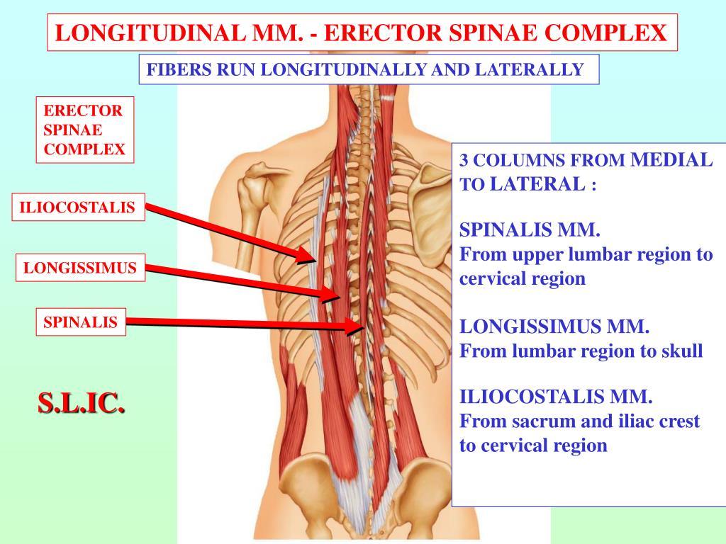 LONGITUDINAL MM. - ERECTOR SPINAE COMPLEX