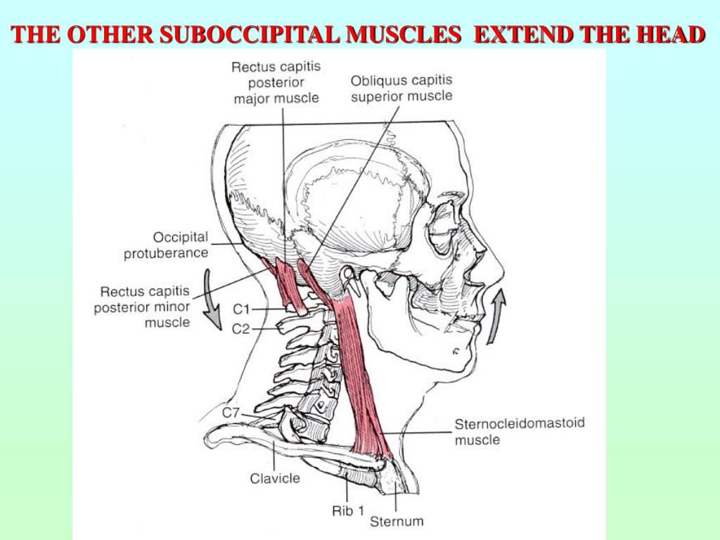 THE OTHER SUBOCCIPITAL MUSCLES  EXTEND THE HEAD