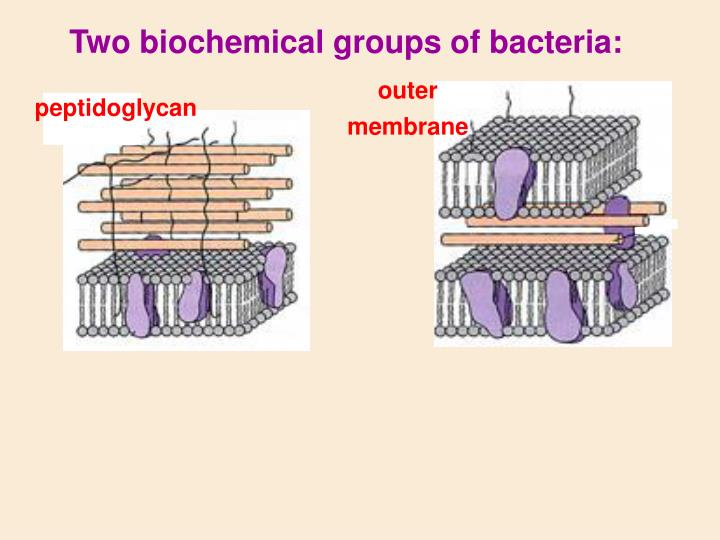 Two biochemical groups of bacteria: