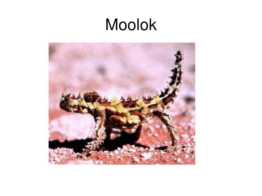 Moolok