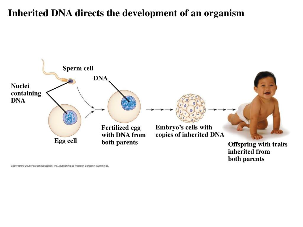 Inherited DNA directs the development of an organism