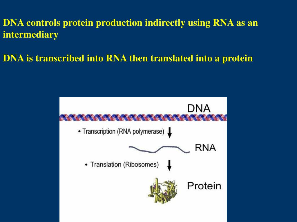 DNA controls protein production indirectly using RNA as an intermediary