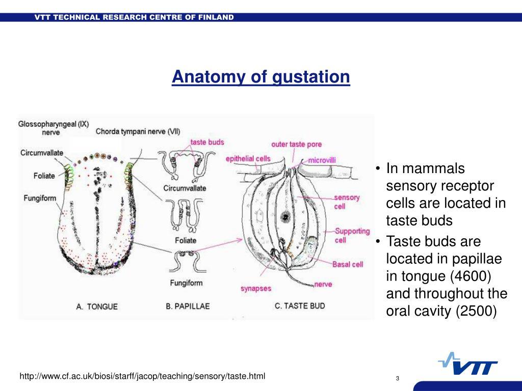 Anatomy of gustation