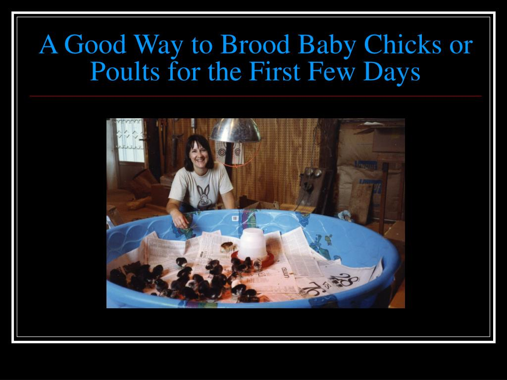 A Good Way to Brood Baby Chicks or Poults for the First Few Days