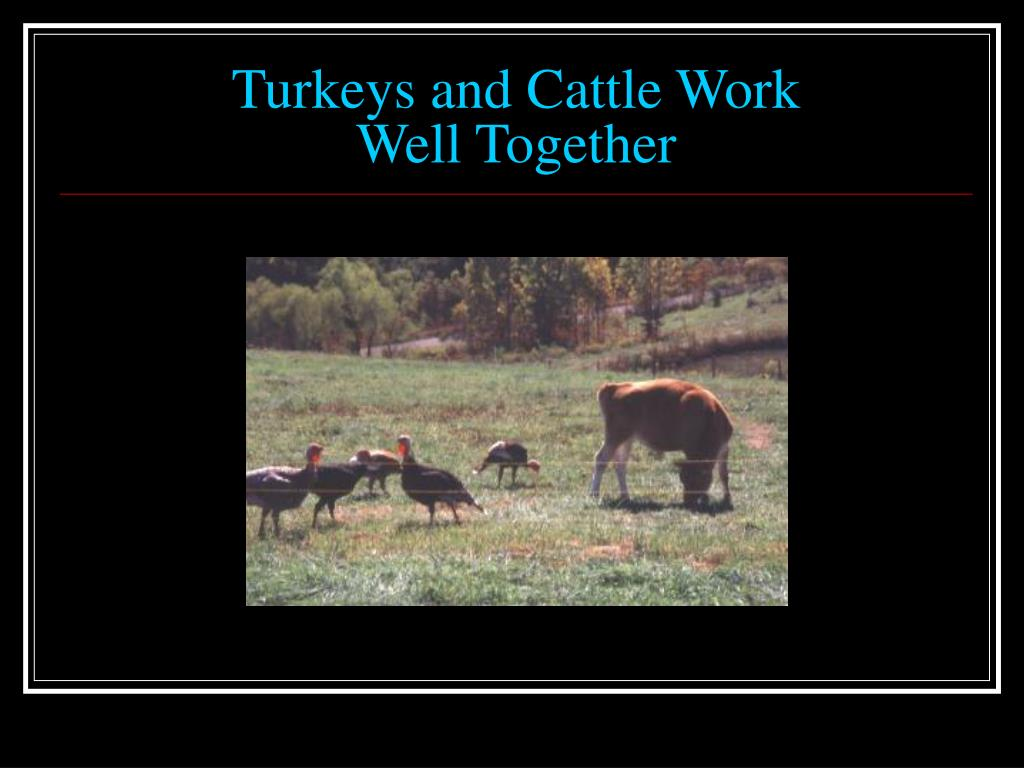 Turkeys and Cattle Work