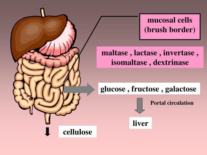 mucosal cells