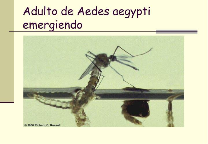 Adulto de Aedes aegypti emergiendo