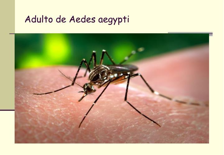 Adulto de Aedes aegypti
