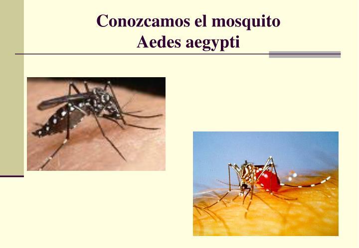 Conozcamos el mosquito