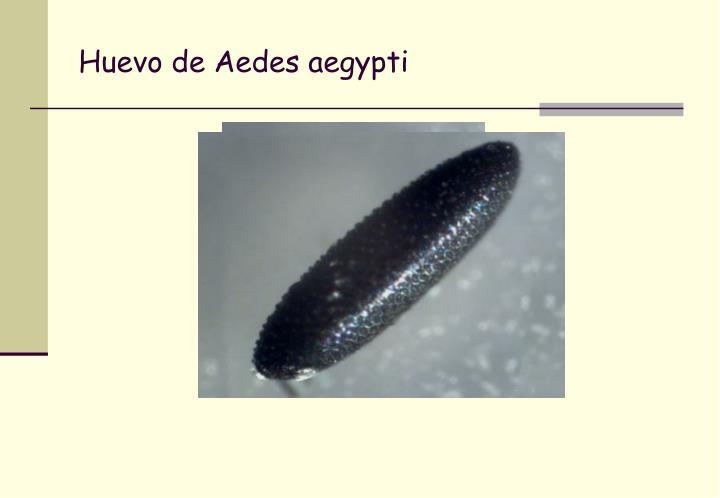 Huevo de Aedes aegypti