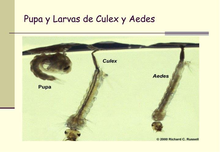 Pupa y Larvas de Culex y Aedes