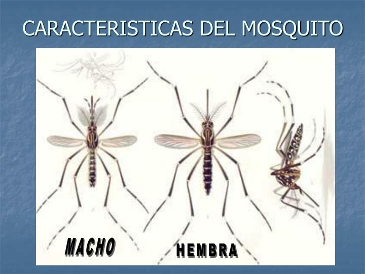 CARACTERISTICAS DEL MOSQUITO