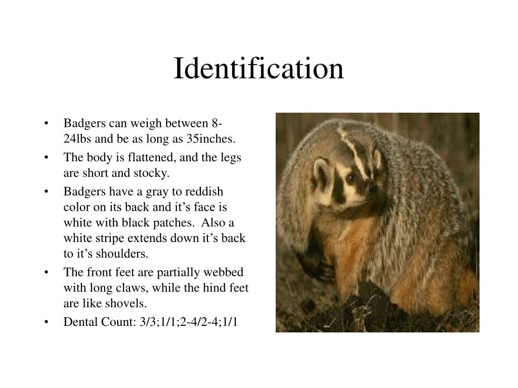 Badgers can weigh between 8-24lbs and be as long as 35inches.