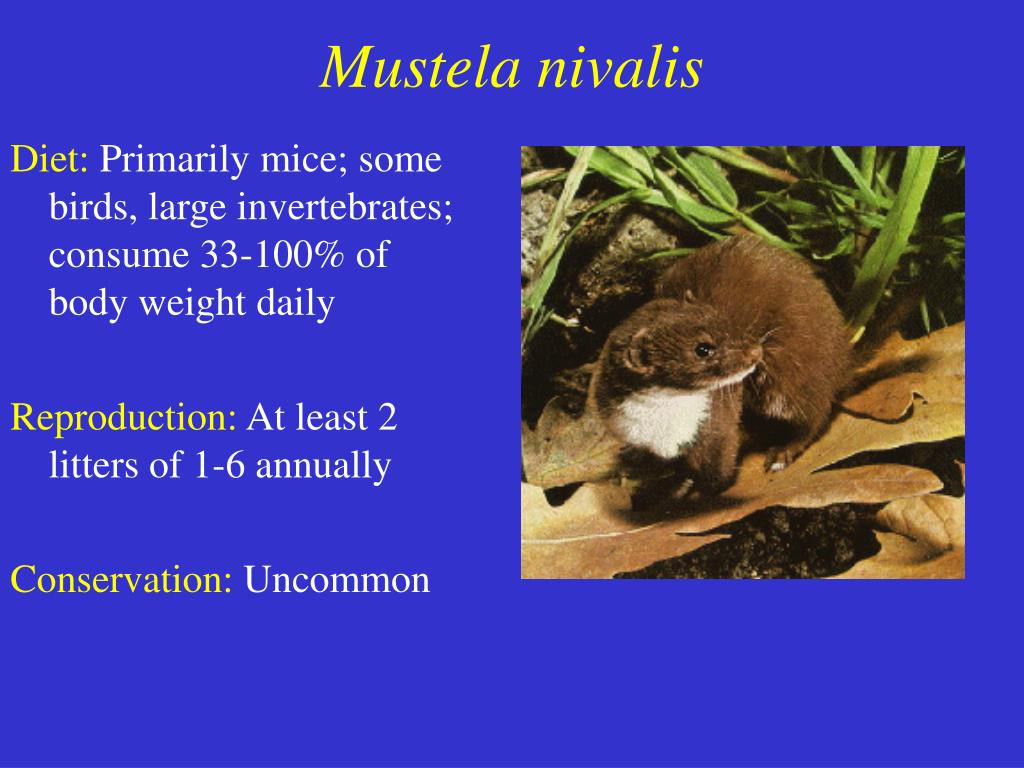 Mustela nivalis