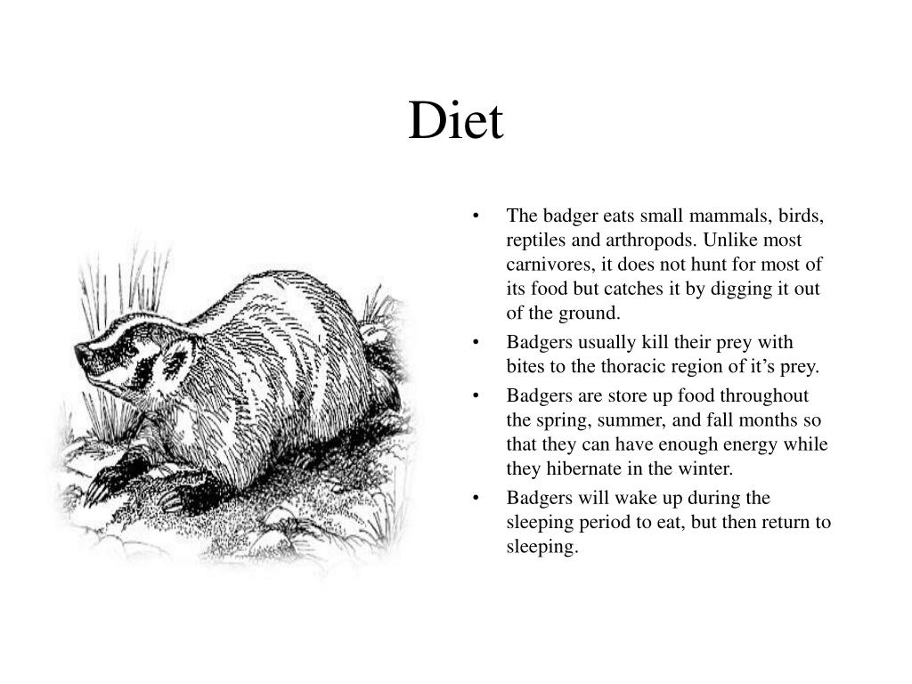 The badger eats small mammals, birds, reptiles and arthropods. Unlike most carnivores, it does not hunt for most of its food but catches it by digging it out of the ground.