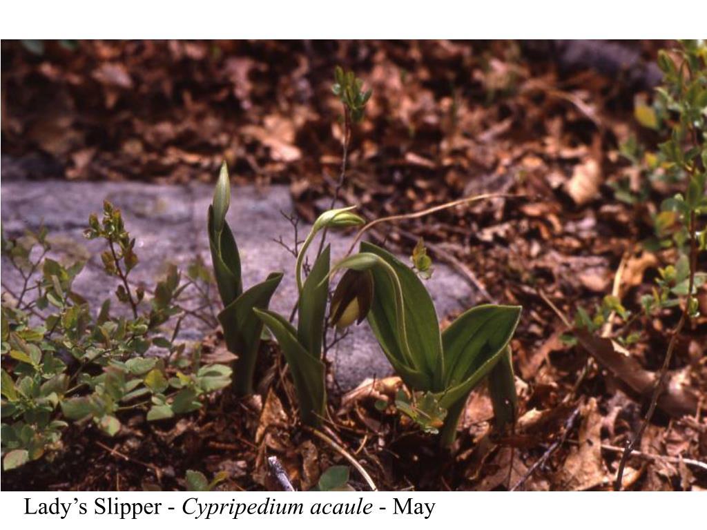 Lady's Slipper -
