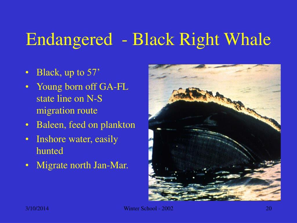 Endangered  - Black Right Whale