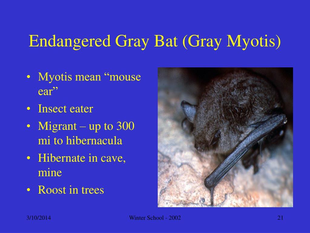 Endangered Gray Bat (Gray Myotis)