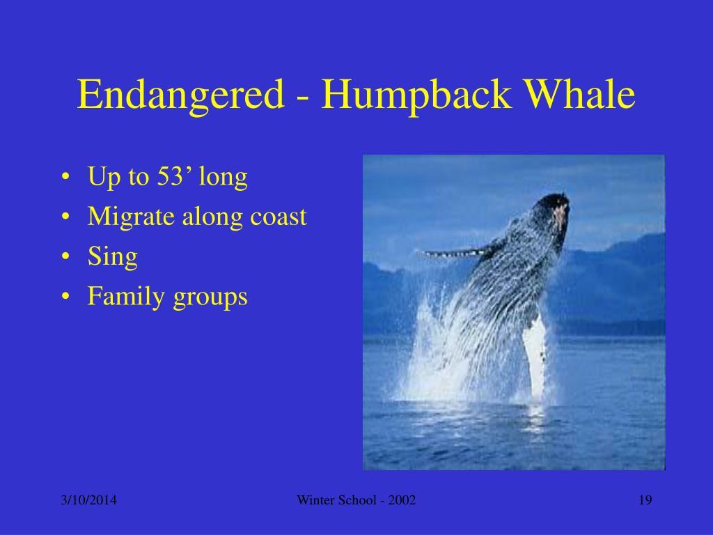 Endangered - Humpback Whale