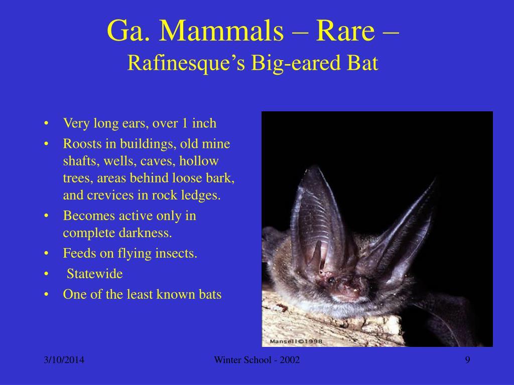 Ga. Mammals – Rare –