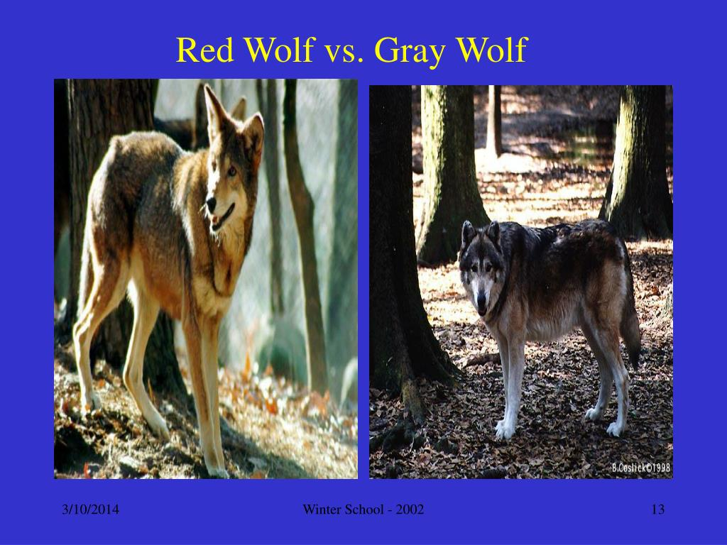 Red Wolf vs. Gray Wolf