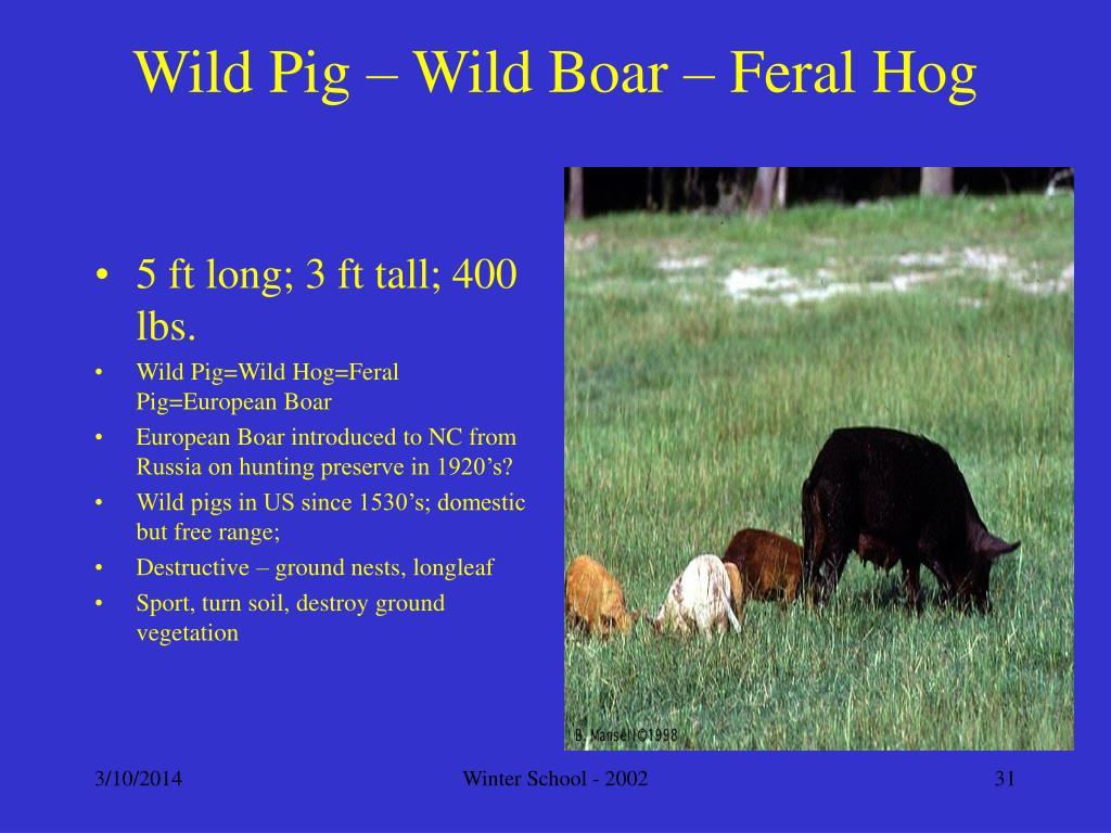 Wild Pig – Wild Boar – Feral Hog