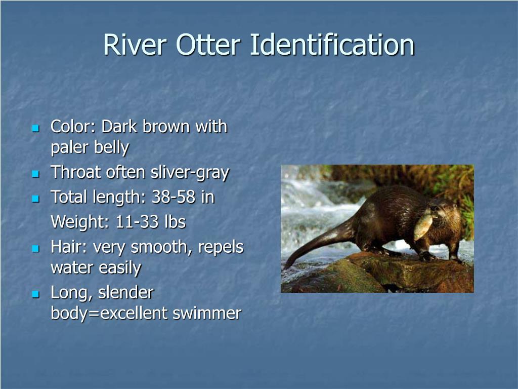 Color: Dark brown with paler belly