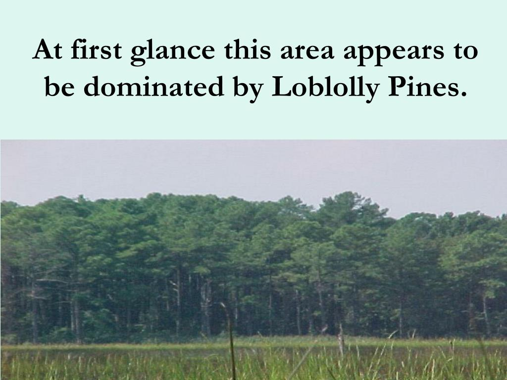 At first glance this area appears to be dominated by Loblolly Pines.