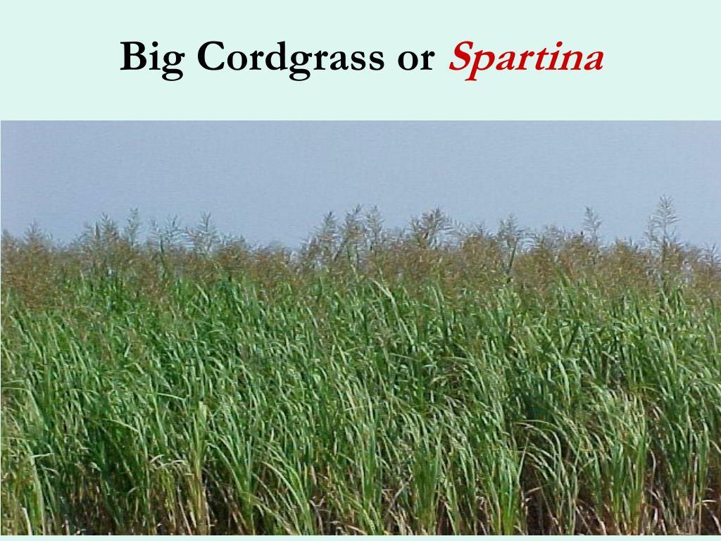 Big Cordgrass or