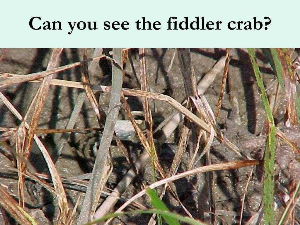 Can you see the fiddler crab?