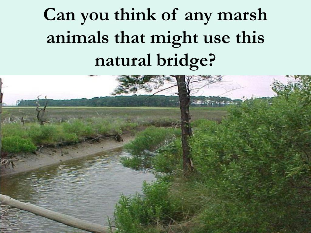 Can you think of any marsh animals that might use this natural bridge?