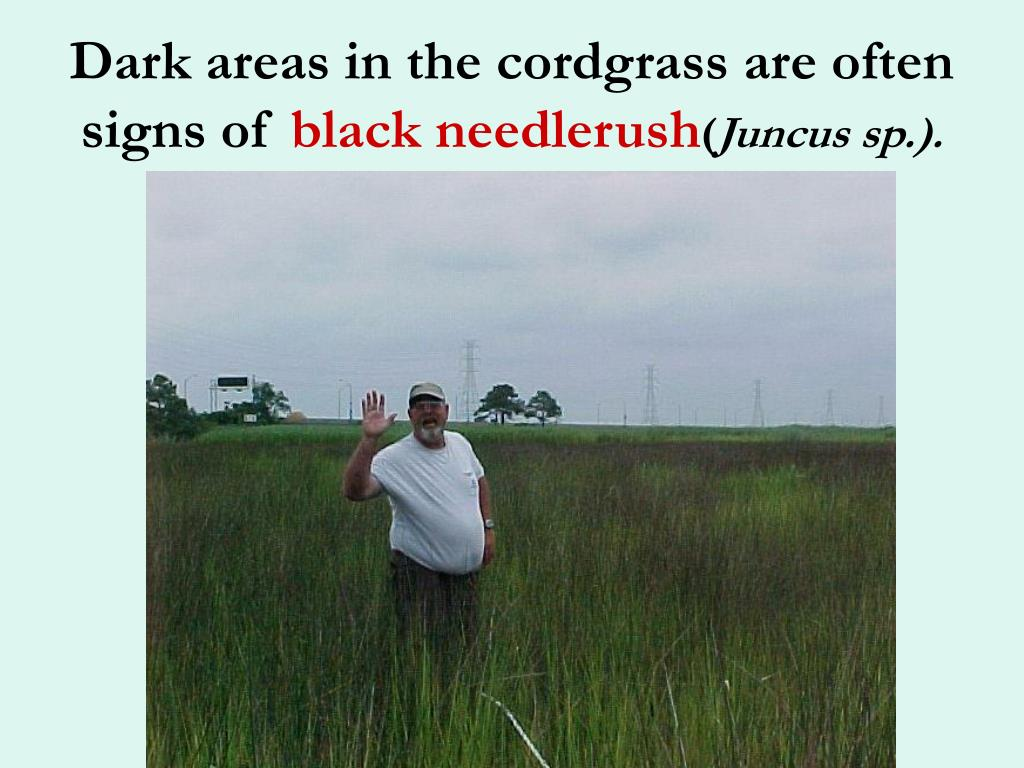 Dark areas in the cordgrass are often signs of